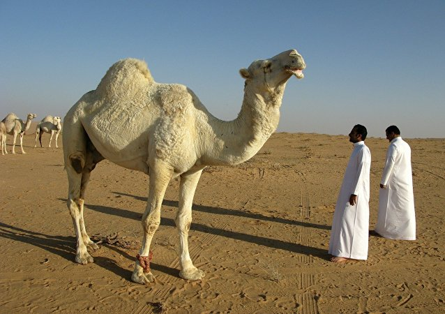 Camello in Arabia Saudita