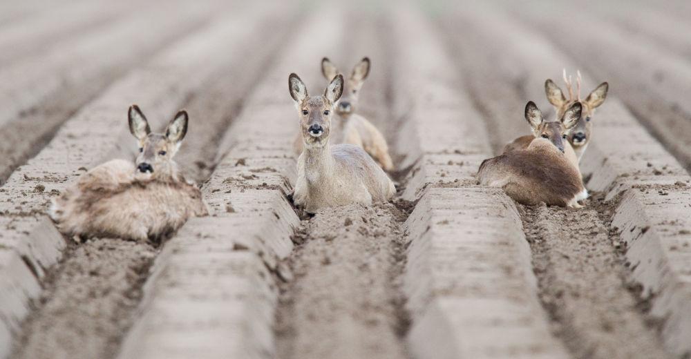 I caprioli si rilassano ai campi nei pressi di Algermissen, Germania.