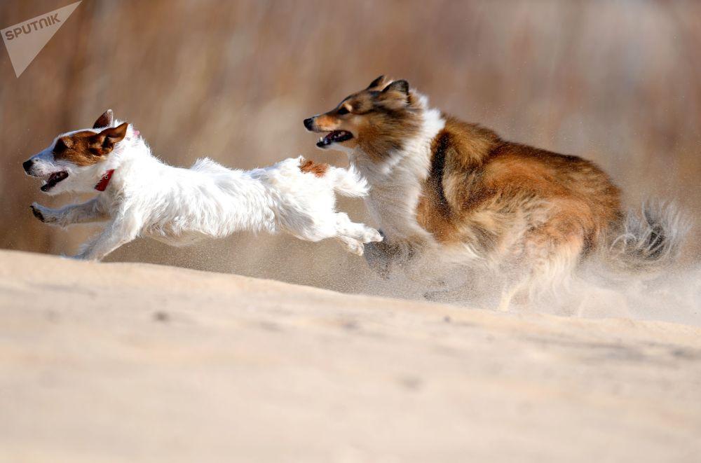 Un allenamento di coursing per cani a Kazan.