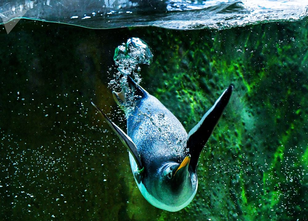 Un penguino allo zoo di Mosca.