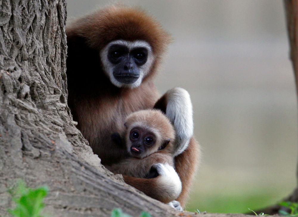 Mamma gibbone con il suo piccolo allo Zoo di Skopje, Macedonia del Nord.