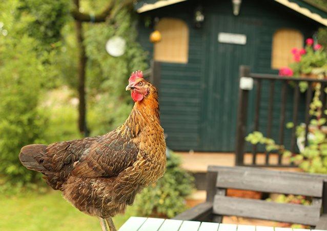 Una gallina