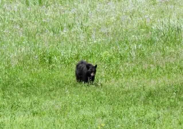 L'audace gru caccia via l'orso