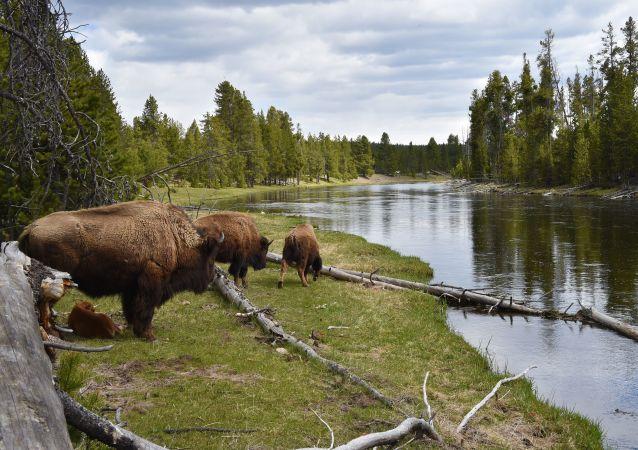 Bisonti nel Parco Nazionale di Yellowstone