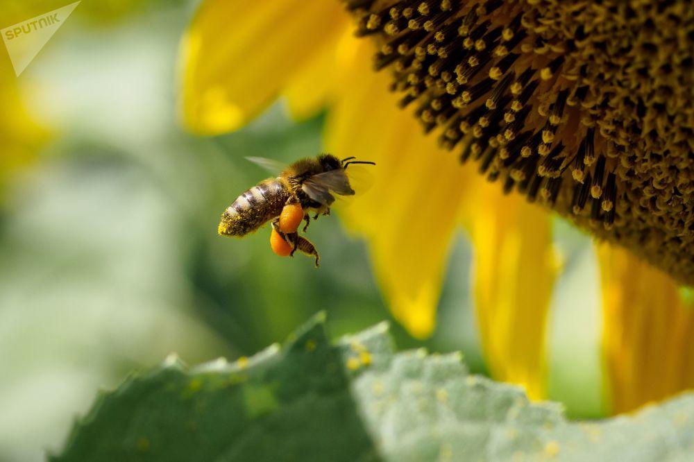 Un'ape sul fiore di un girasole.