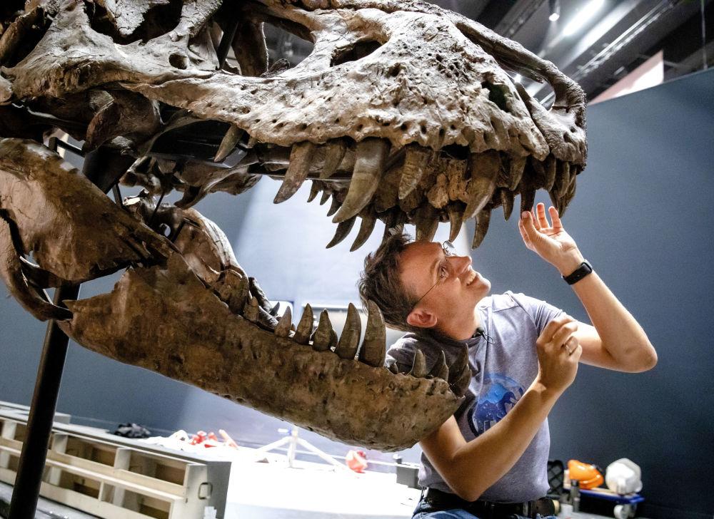 La paleontologa Anne Schulp aggiusta gli ultimi dettagli della ricostruzione a grandezza naturale dello scheletro di un Tyrannosaurus Rex, nel museo Naturalis di Leiden, Paesi Bassi