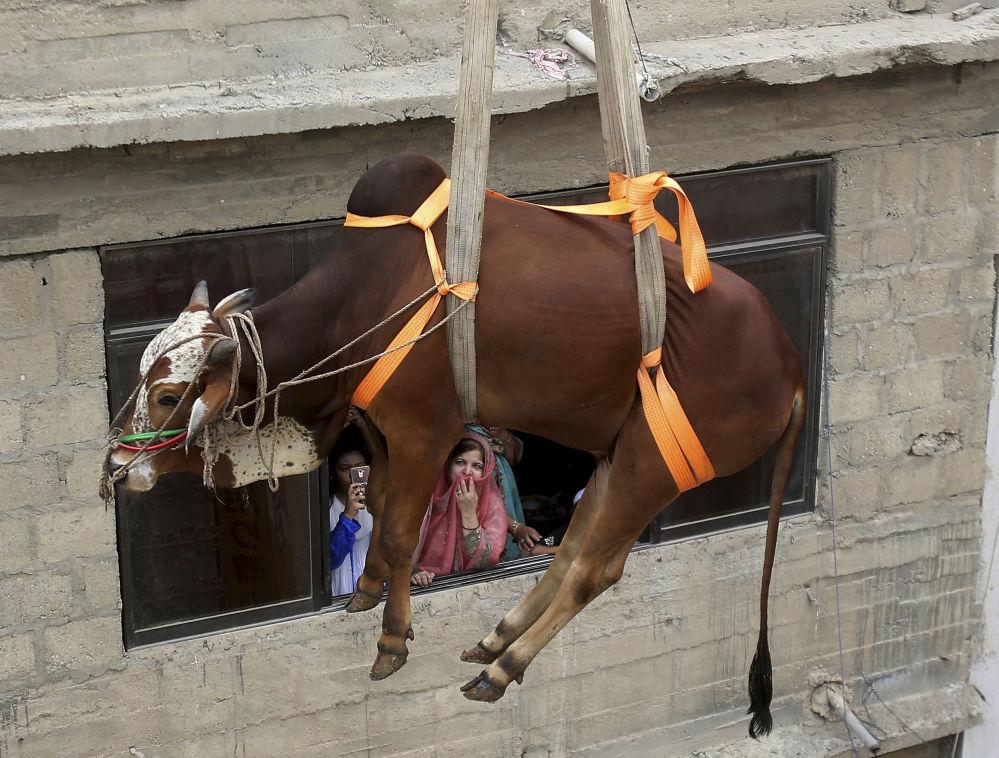 Pakistan: un bovino viene calato prima di essere macellato per la festa del sacrificio, l' Eid al-Adha, osservata dai musulmani