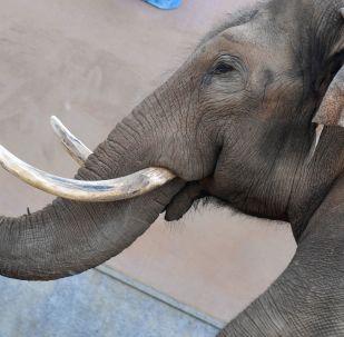 Un elefante