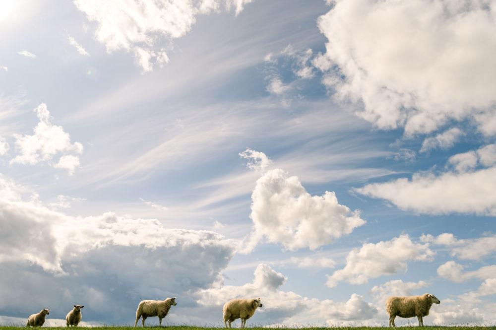 Pecore al pascolo a Tossens, Germania.