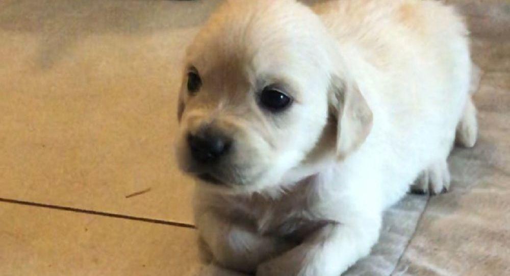 Golden Retriever cucciolo sul pavimento