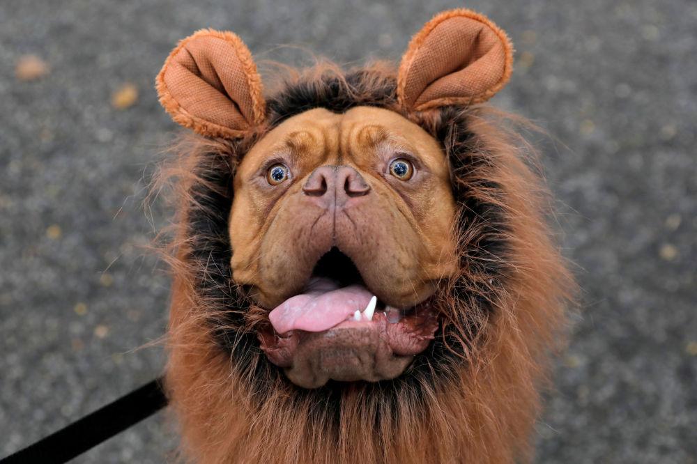 Frankie, il mastino francese, vestito come un leone all'annuale Halloween Dog Parade a New York, il 20 ottobre 2019.