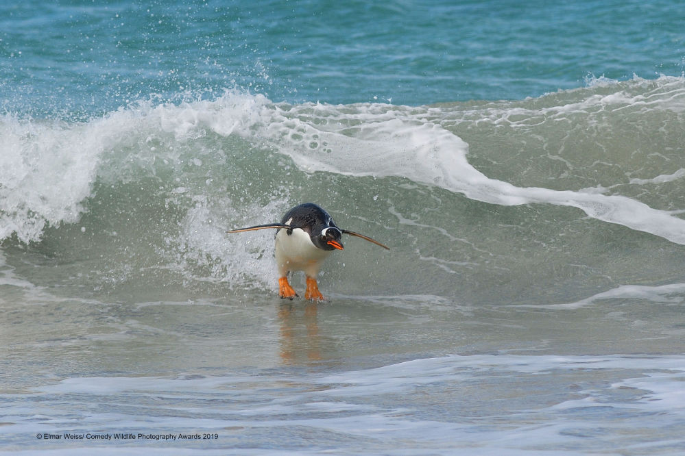 La foto Surfing….South Atlantic Style! della fotografa tedesca Elmar Weiss, Comedy Wildlife Photography Awards 2019