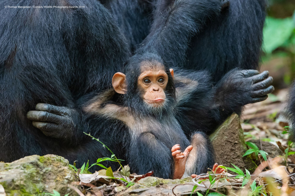 La foto Laid Back del fotografo americano Thomas D. Mangelsen, Comedy Wildlife Photography Awards 2019