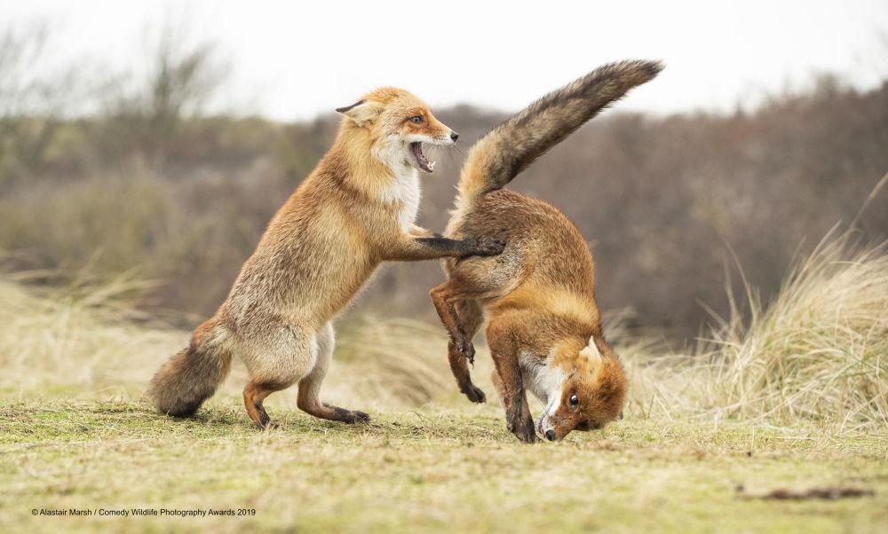 La foto Waltz gone wrong del fotografo britannico Alastair Marsh, Comedy Wildlife Photography Awards 2019