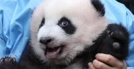 Il cucciolo di panda di tre mesi Bao Di allo zoo di Pairi Daiza a Brugelette, Belgio, il 14 novembre 2019