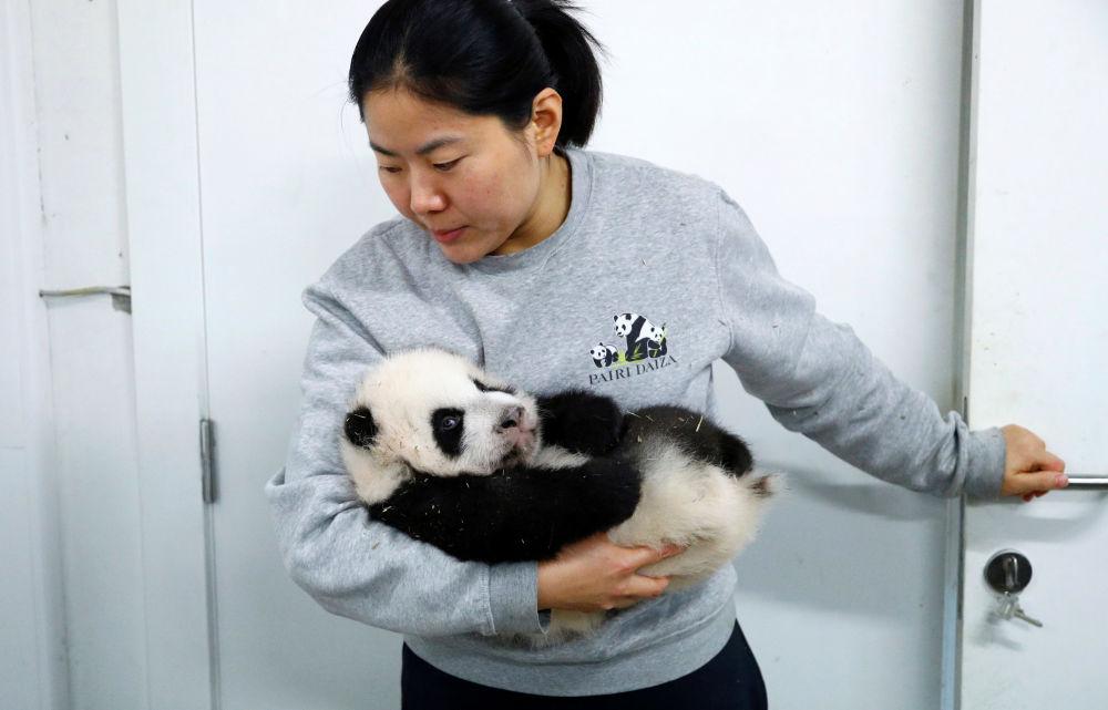 Una guardiana con uno dei due cuccioli di panda allo zoo di Pairi Daiza a Brugelette, in Belgio