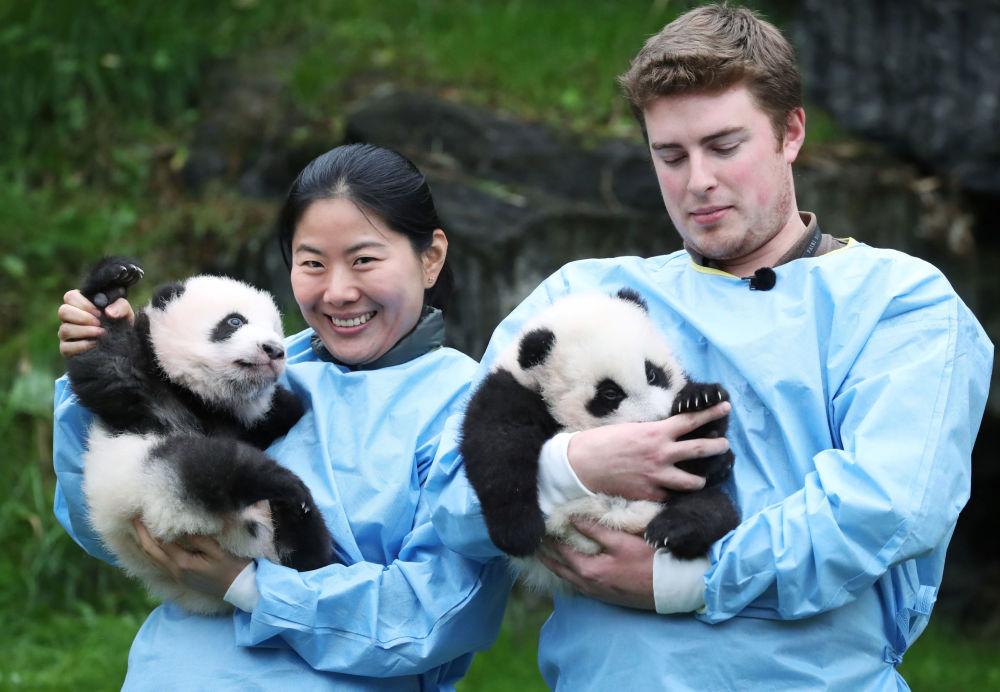 Due cuccioli gemelli di panda allo zoo Pairi Daiza, in Belgio