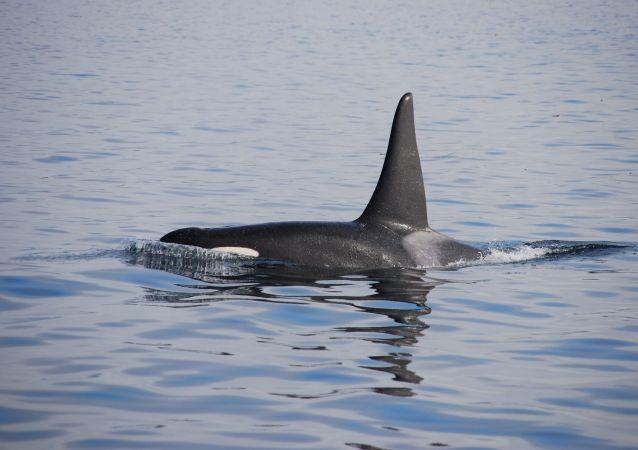 Orca marina