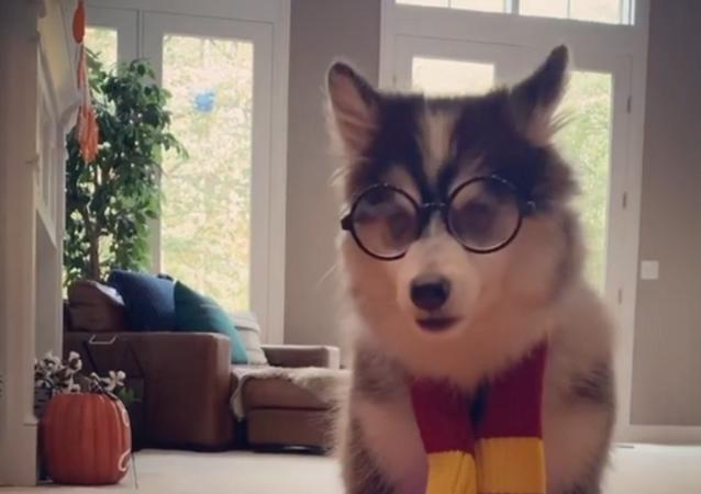 Harry Potter canino