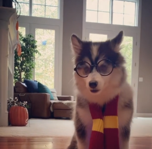 Harry Potter canino