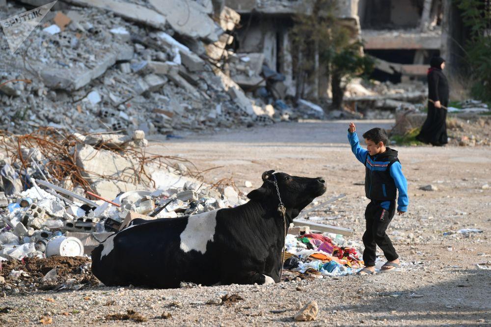 Un ragazzo gioca con una mucca nel cortile della sua casa in un sobborgo nord-orientale di Damasco di Harasta