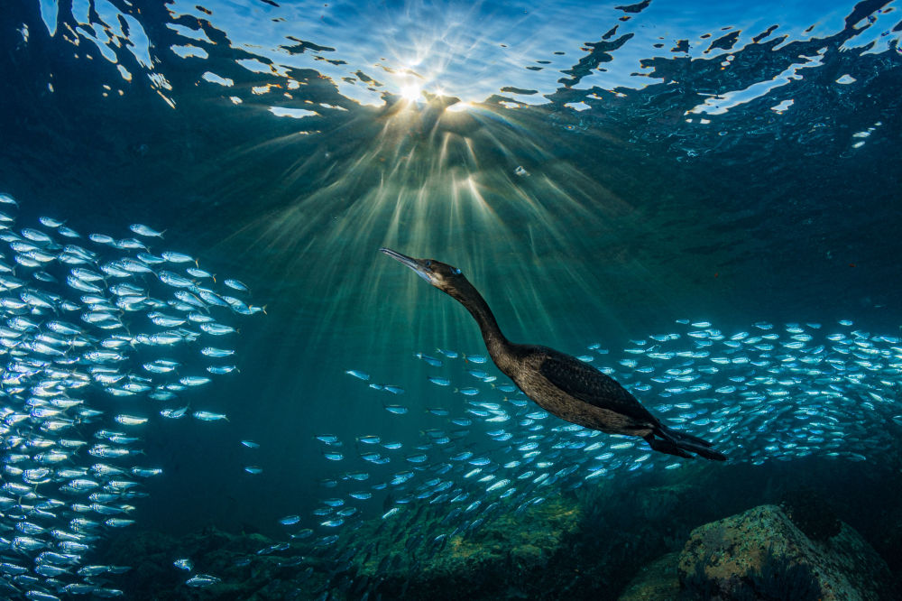 Lo scatto Strange Encounters (Strani incontri) di Hannes Klostermann. Vedere cormorani cacciare sardine è una delle esperienze più incredibili che un subacqueo possa provare a Los Islotes a La Paz, Messico.