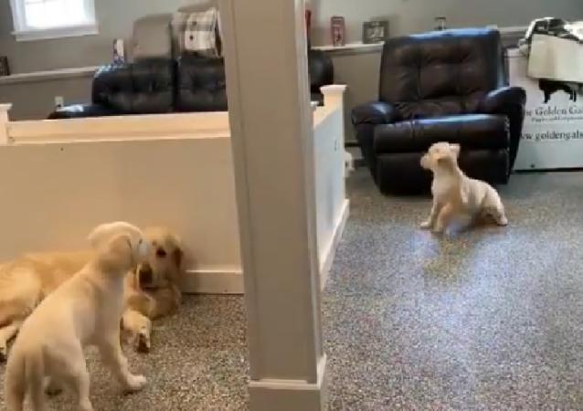Girotondo di gioia: quattro cuccioli di Golden Retriever girano intorno al loro papà