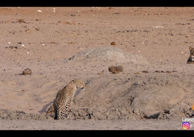 Corri o ti prendo! Un incontro ravvicinato tra due pericolosi felini - Video