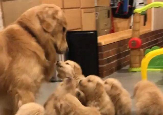 Per favore, gioca con noi! I cuccioli di Golden Retriever vogliono l'attenzione